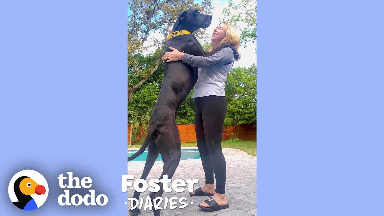 Woman With A House Full Of Dogs Fosters Two Adorable Great Danes | The Dodo Foster Diaries