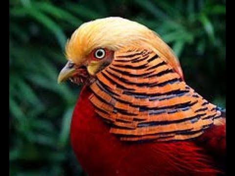 MOST COLORFUL BIRD GOLDEN PHEASANT AT DELHI ZOO