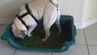 Pug Violet  - Litter Box Trained