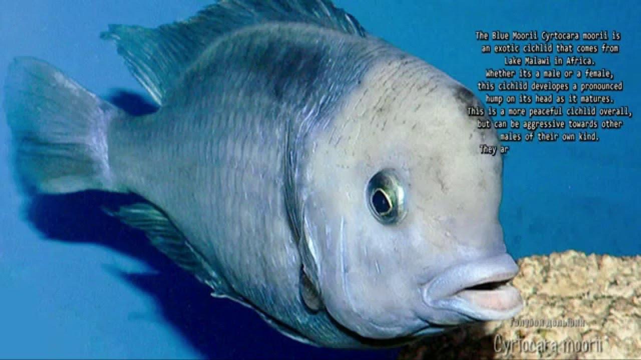 Cyrtocara moorii (Blue Dolphin Cichlid, ??????? ??????? ...