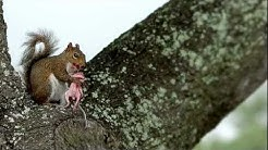 squirrel cannibal