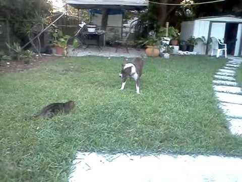 Cat beats up pitbull!