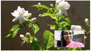 మల్లెపూలు ఎక్కువగా పుయ్యాలంటే ఏమిచేయాలంటే .. (How to grow jasmine plant in pot )