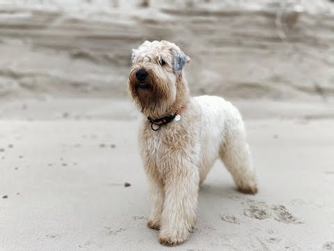 Soft Coated Wheaten Terrier freedom playing on early spring beach