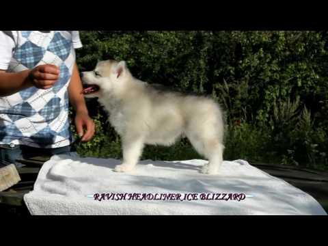 WILLIAM WALLACE OF NORDICA & JUNIOR STAR puppies, Ice Blizzard siberians