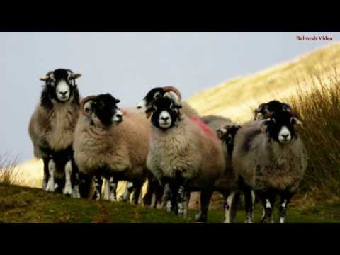 Sheep Gather Slideshow -
