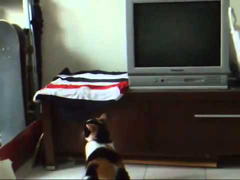 fette katze versucht auf fernseh tisch zu springen fail. Black Bedroom Furniture Sets. Home Design Ideas
