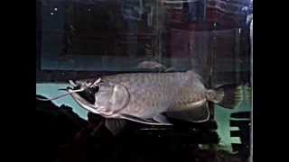 Golden Pino Arowana Eating Rats