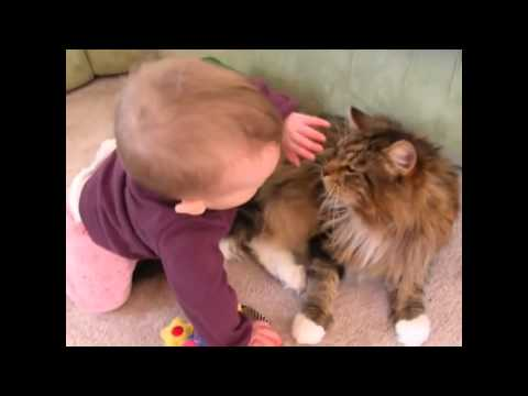 Maine Coon Compilation - Maine Coons are Cats with a Lot of Patience and Personality