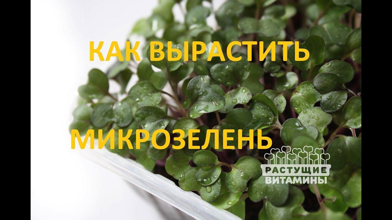 Как вырастить микрозелень в домашних условиях - Бестужева Лавка