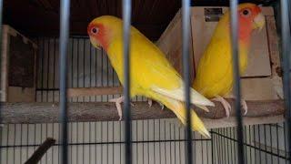 Lovebirds Breeding Tips (Urdu/Hindi)