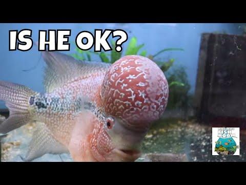 IS HE OK? MY SICK FLOWERHORN CICHLID UPDATE!