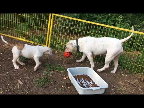 american Bulldog puppies playing with mom