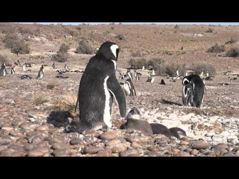Cabo dos Bahias - Magellan Pinguine