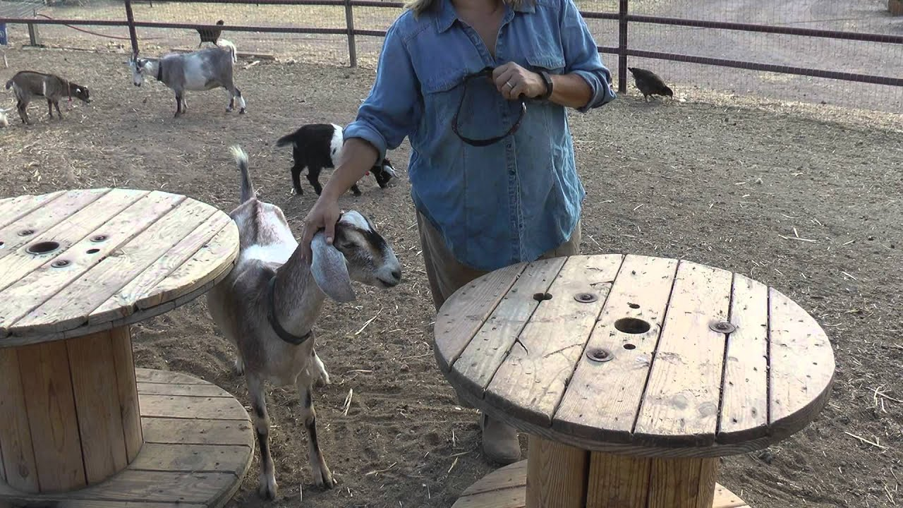 Vicarious Ranch - Dairy Goats