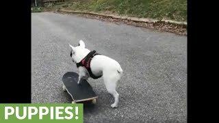 French Bulldog skateboards through park