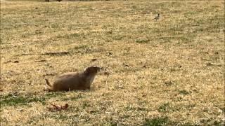 散歩中のプレーリードッグが珍しいのかセキレイがずっとついてくるよ.