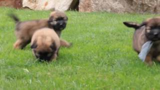Soft Coated Wheaton Terrier Mix Puppies For Sale Ben Smucker