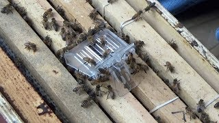 Video Introducing a queen to a queenless bee hive. download MP3, 3GP, MP4, WEBM, AVI, FLV November 2018