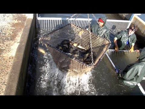 Catfish Farming In California