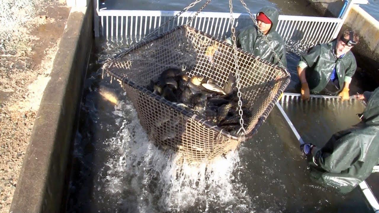 Catfish Farming in California