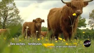 Des vaches... tondeuses