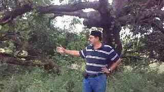 walking mango tree / chalto ambo