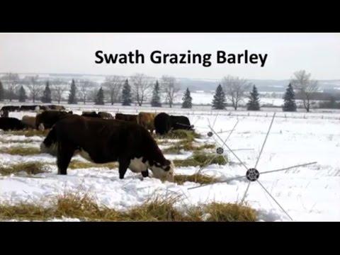 Swath and Bale Grazing Strategies
