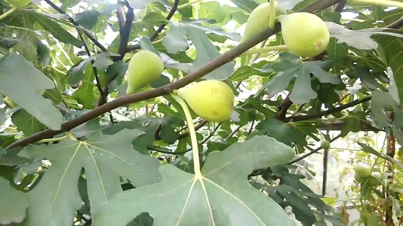 фото инжирное дерево