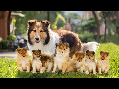 The Sheltie- an extremely intelligent dog giving birth to cute puppies