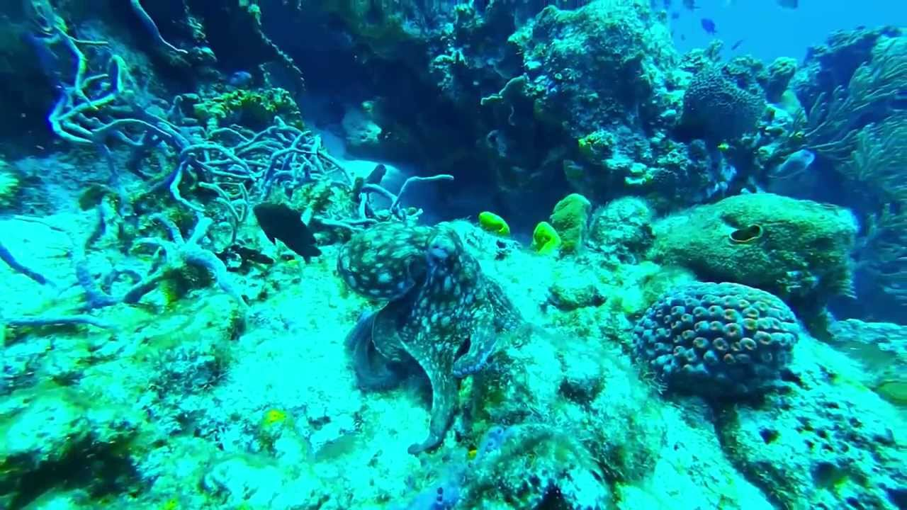 Caribbean reef octopus on rare day hunt. - YouTube