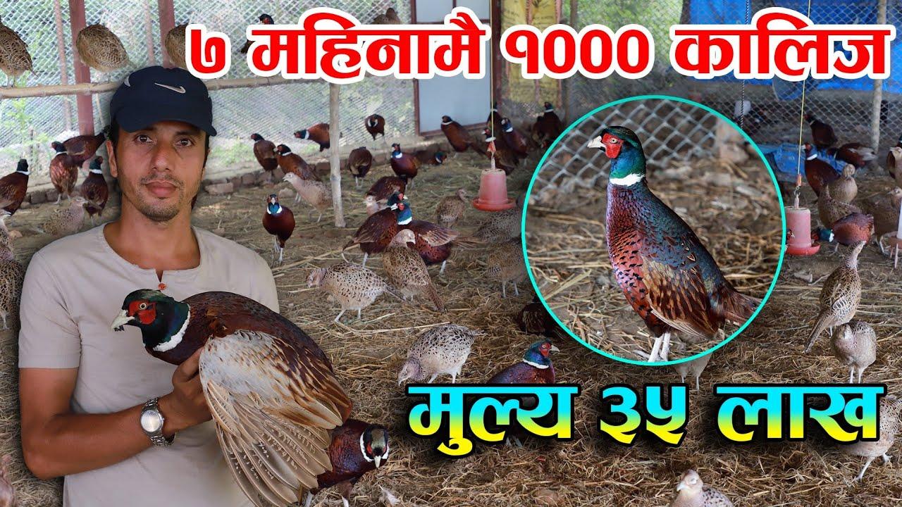 कालीज पालेर ७ महिनामै ३५ लाखको ब्यापार ||  Pheasant Farming in Nepal || Rabilal