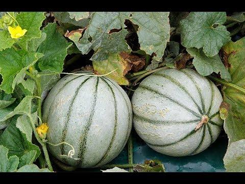 tout savoir sur le melon bien le semer et le planter youtube. Black Bedroom Furniture Sets. Home Design Ideas