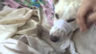 Собака с венсаркомой и лапа стерта до мяса.