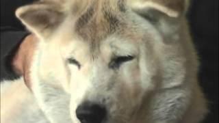 akita cão filme sempre ao seu lado