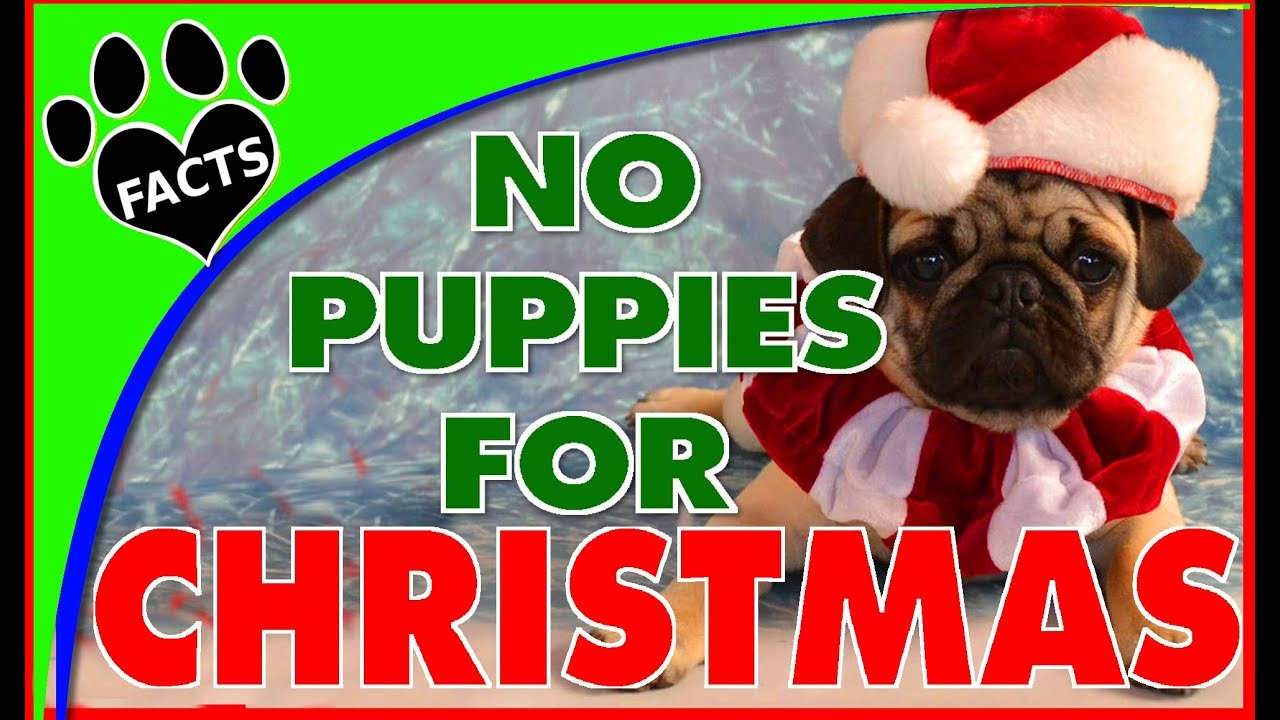 ???? 5 Reasons to Not Give a Puppy for Christmas - Dogs 101 -Animal Facts