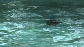 Lab Dives To Bottom Of Pool - Labrador Retriever Training For Duck Hunting