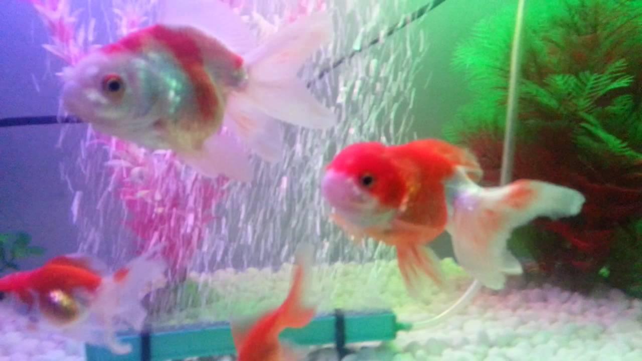 Aquarium Ikan Mas Koki Kesayanganku Goldfish Tank Youtube