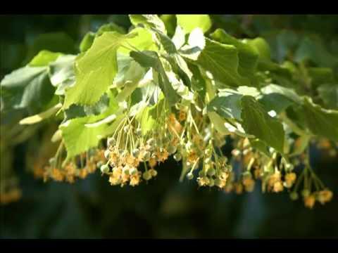 Plantas medicinales tilo propiedades youtube for Planta decorativa propiedades medicinales
