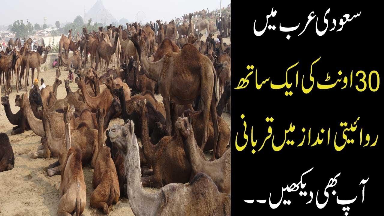 Download 30 Camel Qurbani in Saudi Arabia 2018