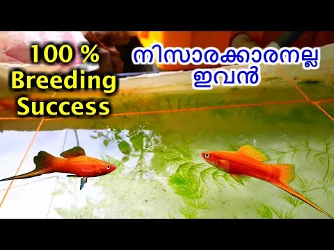 How To Breed Fresh Water SWORDTAIL FISH || ഷോട്ടേൽ ഫിഷ് ബ്രീഡിങ് Malayalam