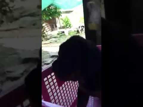 Bán chó rott 0964733539