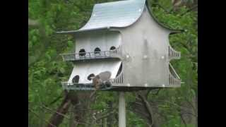 Squirrel Building Nest In Purple Martin House - (part 1)