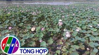 THVL | Chống khô hạn ở ĐBSCL bằng mô hình trồng sen trên đất lúa