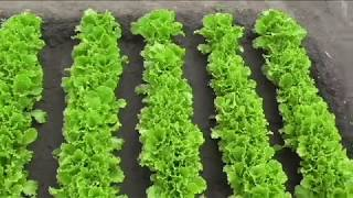 Какие сорта салата я выращиваю в этом сезоне