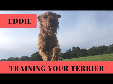 Training Your Irish Terrier in 2 Weeks