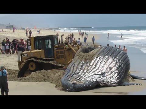 СПАСЕНИЯ КИТОВ. Спасение дельфинов на берегу. Как люди спасли кита который застрял на пляже