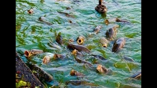 КРУПНЫЕ САЗАНЫ НА БЕРЕГУ рыбалка shorts