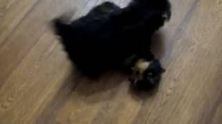 Продажа щенков Йоркширского терьера