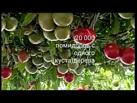20 000 помидоров с одного куста дерева